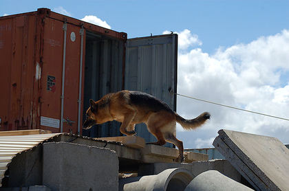 USAR dog Jochen searching during the Advanced Operational Test
